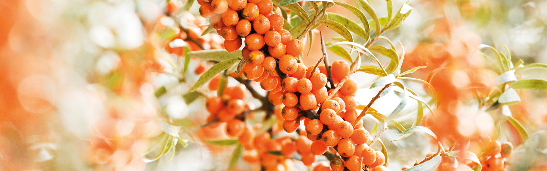 sea-buckthorn-lead-plant